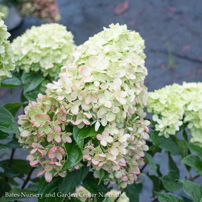 #2s Hydrangea pan Little Lime/Panicle White
