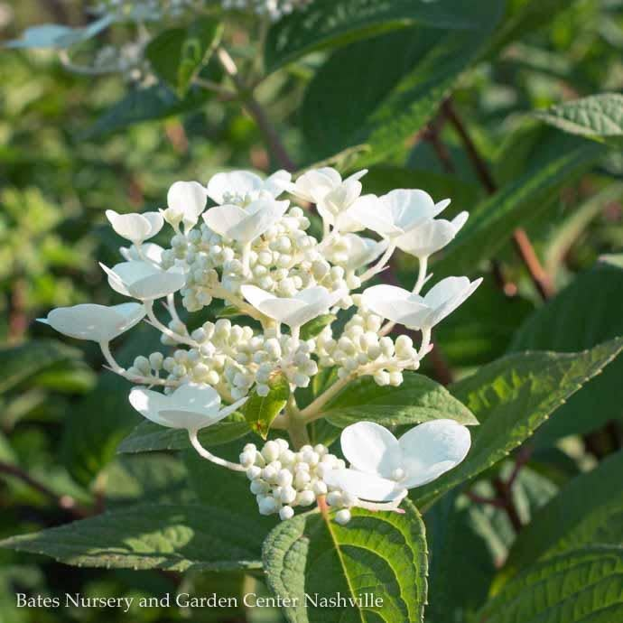 #2s Hydrangea pan Quick Fire/Panicle White to Pink-red