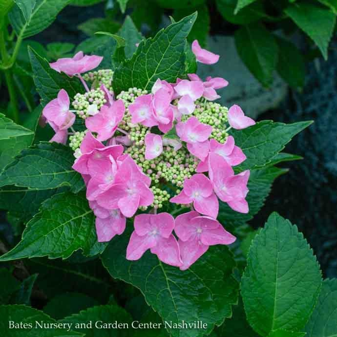 #3 Hydrangea mac Starlight (Let's Dance)/Bigleaf/Lacecap Rebloom Blue to Pink