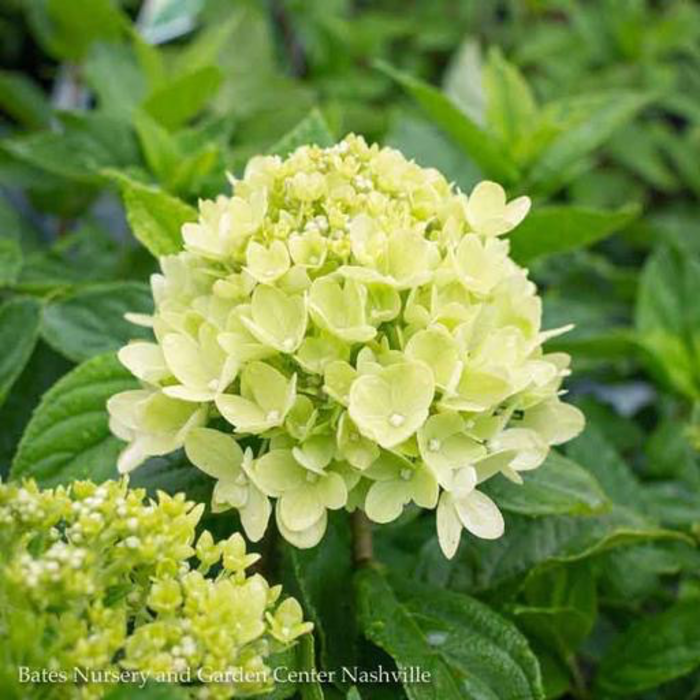 #2 Hydrangea pan Little Lime/Panicle White