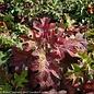 #3 Hydrangea quercifolia/Oakleaf