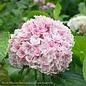 #3 Hydrangea mac Freedom (Double Delights)/Bigleaf/Mophead Rebloom Blue to Pink