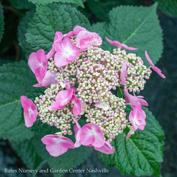 #1 Hydrangea mac Twist-n-Shout (Endless Summer)/Bigleaf/Lacecap Repeat Pink or Blue