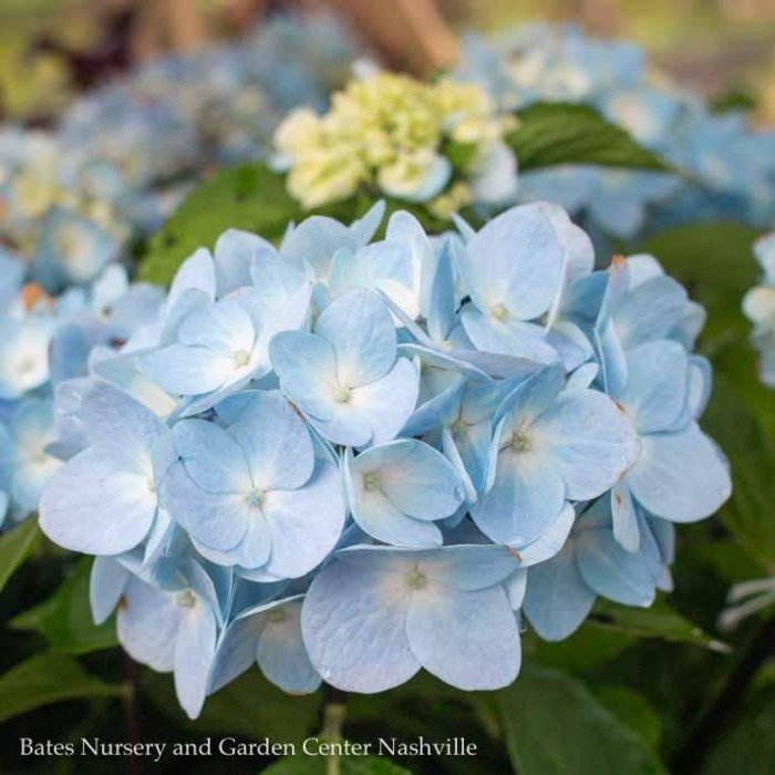 #2 Hydrangea mac Blue Enchantress/Bigleaf/Mophead Rebloom Blue to Pink