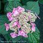 #3 Hydrangea mac Twist-n-Shout (Endless Summer)/Bigleaf/Lacecap Repeat Pink or Blue