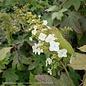 #7 Hydrangea quer Alice/Oakleaf