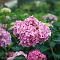 #1 Hydrangea mac Bloomstruck (Endless Summer)/Bigleaf/Mophead Repeat Rose-pink or Purple