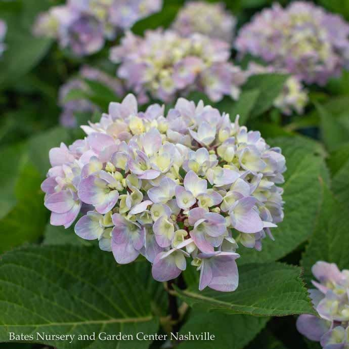#1 Hydrangea mac Blue Enchantress/Bigleaf/Mophead Rebloom Blue to Pink