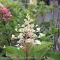 #3 Hydrangea pan Pinky Winky/Panicle White to Dark Pink
