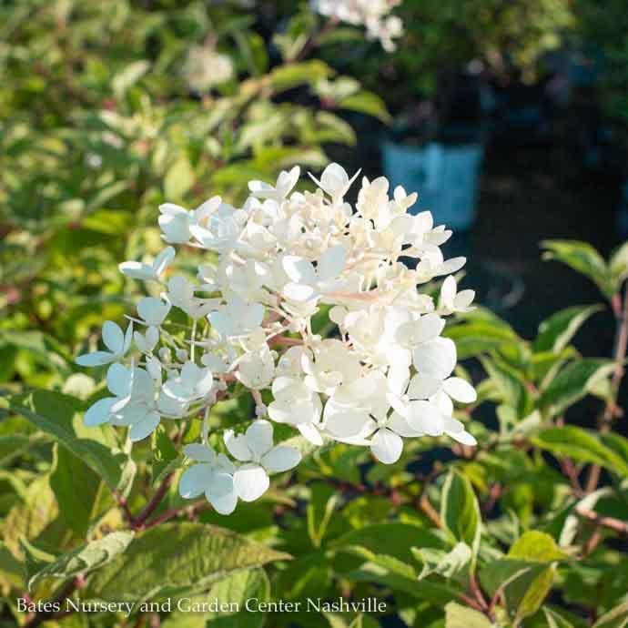#3 Hydrangea pan Phantom/Panicle White