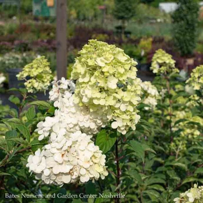 #15 Patio Tree Hydrangea pan Vanilla Strawberry/Panicle White to Pink