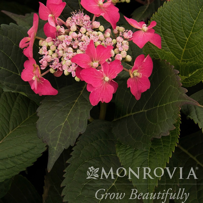 #2 Hydrangea ser Seaside Serenade Cape May/Mountain/Lacecap Blue to Pink