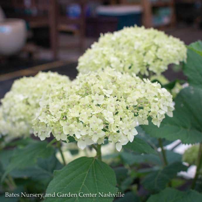 #5 Hydrangea arb Seaside Serenade Bar Harbor/Dwarf White (Annabelle Type)