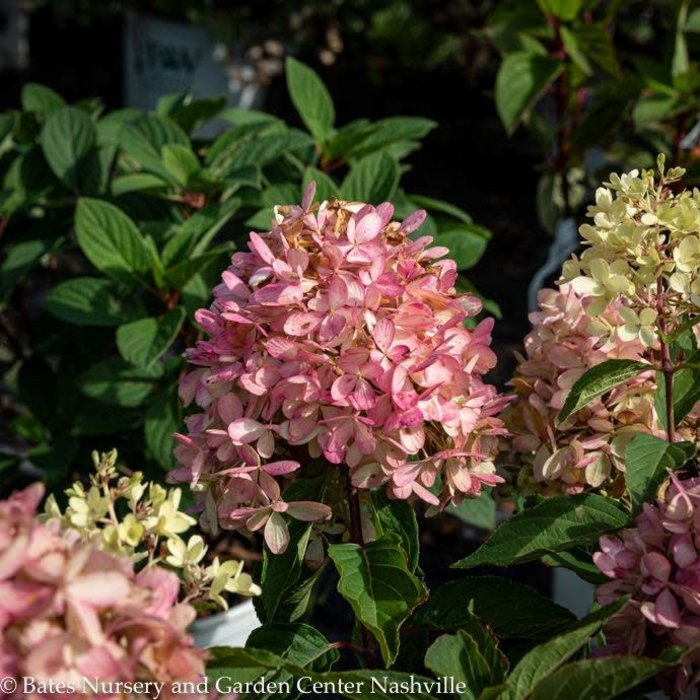 #2s Hydrangea pan Zinfin Doll/Panicle White to Rosy-pink