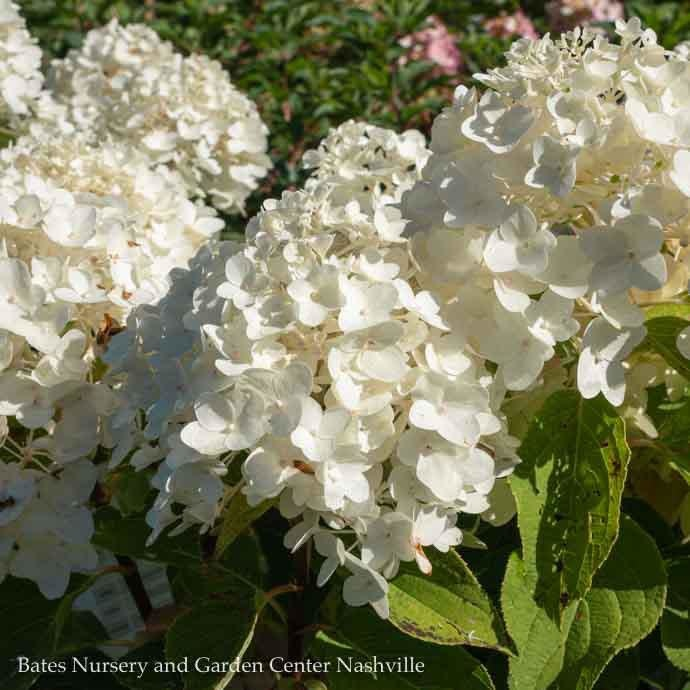 #2 Hydrangea pan White Wedding/Panicle