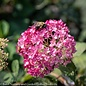 #3 Hydrangea arb NCHA7 PPAF/Invincibelle Mini Mauvette
