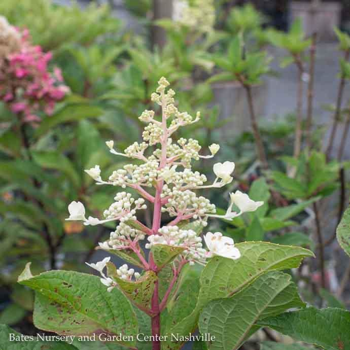 #3 Hydrangea pan Pinky Winky/Panicle White to Dark Pink