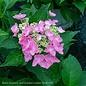 #5 Hydrangea mac Starlight (Let's Dance)/Bigleaf/Lacecap Rebloom Blue to Pink