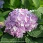 #1 Hydrangea mac The Original (Endless Summer)/Bigleaf/Mophead Repeat Blue or Pink