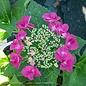 #3 Hydrangea mac Cherry Explosion/Bigleaf/Lacecap Deep Pink