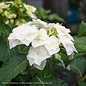 #3 Hydrangea mac Wedding Gown(Double Delights)/Bigleaf/Lacecap Rebloom White