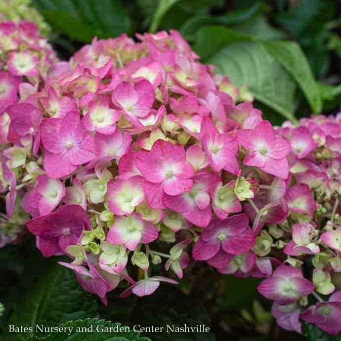 #3 Hydrangea mac (Endless Summer) Summer Crush/Bigleaf Repeat