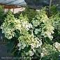 #3 Hydrangea pan Lavalamp Candelabra/Panicle White to Pink