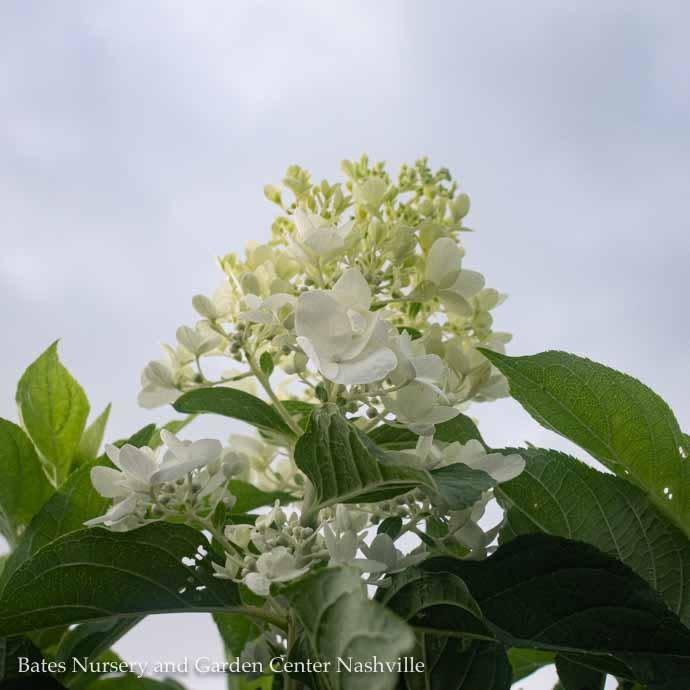 #3 Hydrangea Moon Dance/Panicle White
