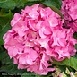 #2 Hydrangea mac Pink Splendor/Bigleaf/Mophead Rebloom Pink