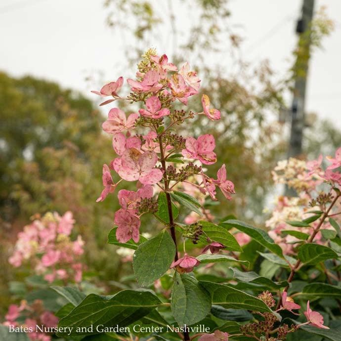 #7 Patio Tree Hydrangea pan Pink Diamond/Panicle