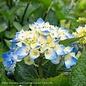 #3 Hydrangea mac Blue Jangles (Let's Dance)/Bigleaf/Mophead Rebloom Blue to Pink