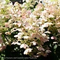 #7 Patio Tree Hydrangea pan Quick Fire/Panicle White to Pink-red