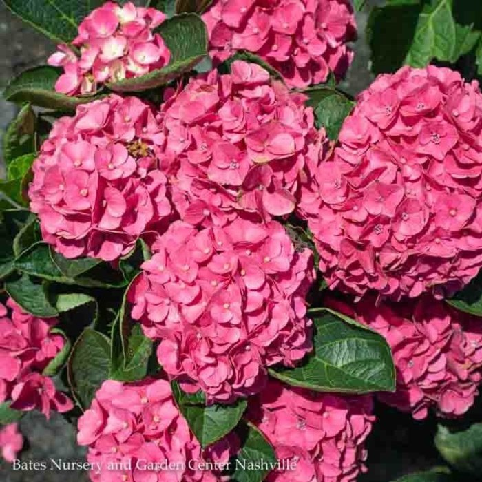 #2 Hydrangea mac Seaside Serenade Martha's Vineyard/Bigleaf/Mophead Pink