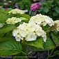 #2 Hydrangea mac Seaside Serenade Cape Lookout