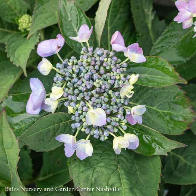 #3 Hydrangea mac Rhythmic Blue (Let's Dance)/Bigleaf/Mophead Rebloom Blue to Pink