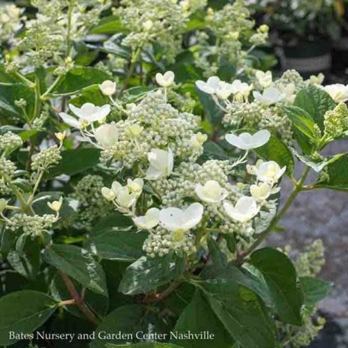 #2 Hydrangea pan Quick Fire/Panicle White to Pink-red