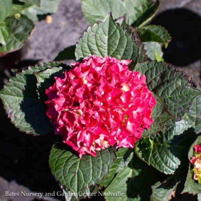 #2 Hydrangea mac Heart Throb/Bigleaf/Mophead