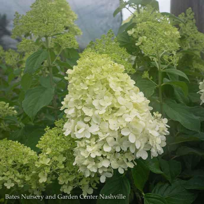 #7 Patio Tree Hydrangea pan Limelight/Panicle White