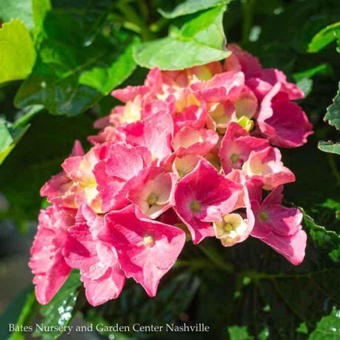 #2 Hydrangea mac Seaside Serenade Newport/Bigleaf/Pink Mophead