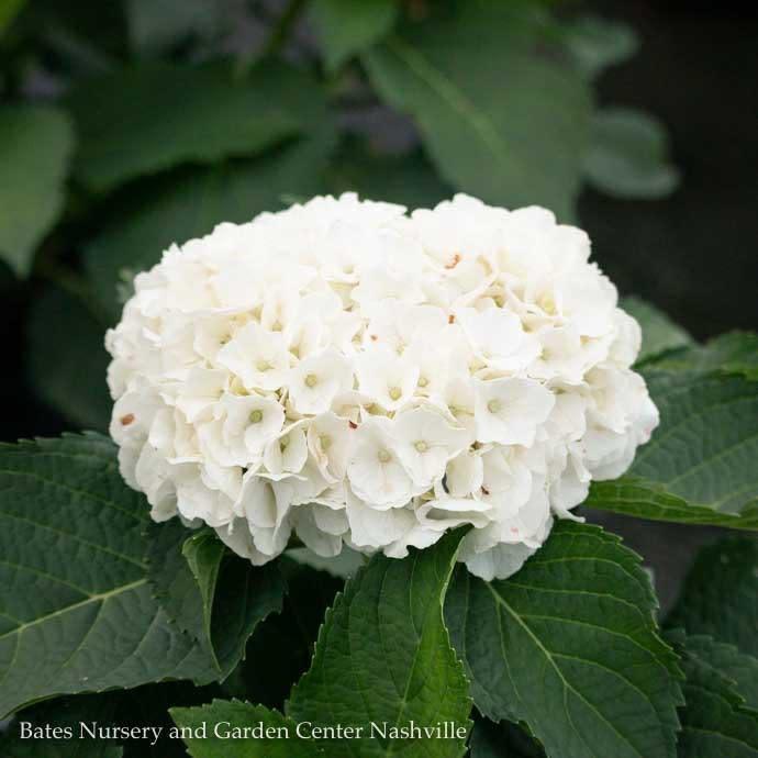#3 Hydrangea mac Everlasting Bride/Bigleaf/Mophead White