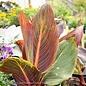 Tropical #2 Canna Tropicanna