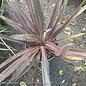 Tropical #1 Cordyline Baueri/Dracaena No Warranty