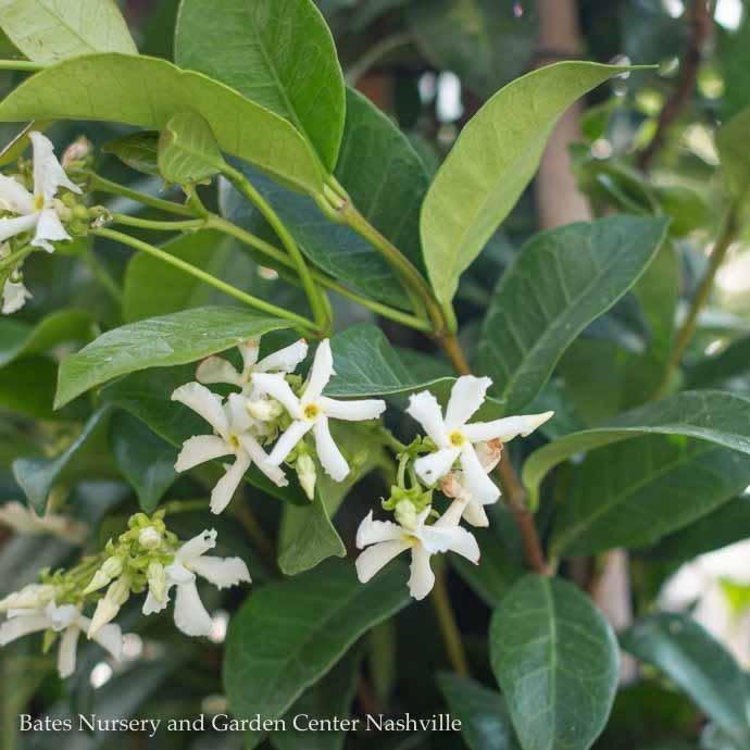 Tropical 10p! Trach Jasminoides/Star or Confederate Jasmine on Trellis