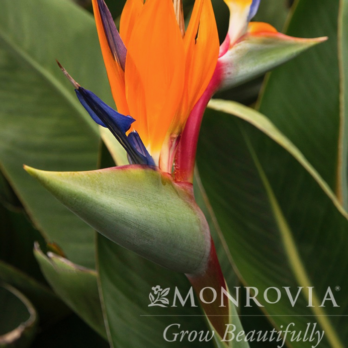 Tropical #1 Strelitzia reginae/Bird Of Paradise