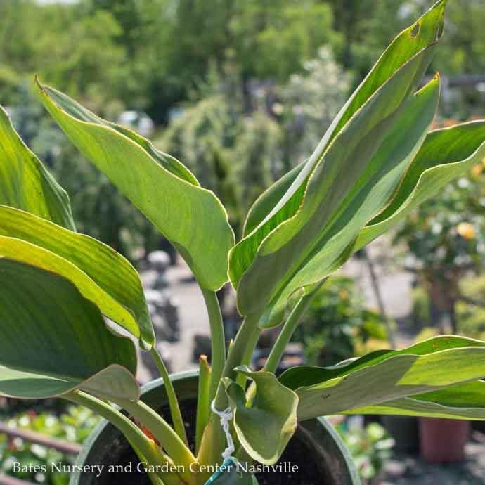 Tropical #1 Strelitzia reginae/Bird Of Paradise
