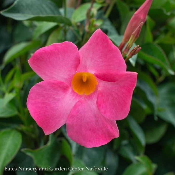 Tropical #1/6p! Mandevilla/Dipladenia Asst. - TRELLIS