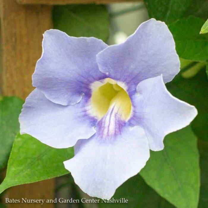 Tropical 10p! Thunbergia/Blue Sky Vine Trellis