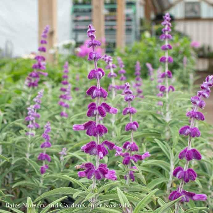 Tropical #1 Salvia leuc Santa Barbara/Mexican Bush Sage  No Warranty