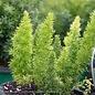 Tropical 10p! Fern Asparagus Myers / Foxtail Fern