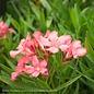 Tropical 10p! Pot Oleander - Bush Form